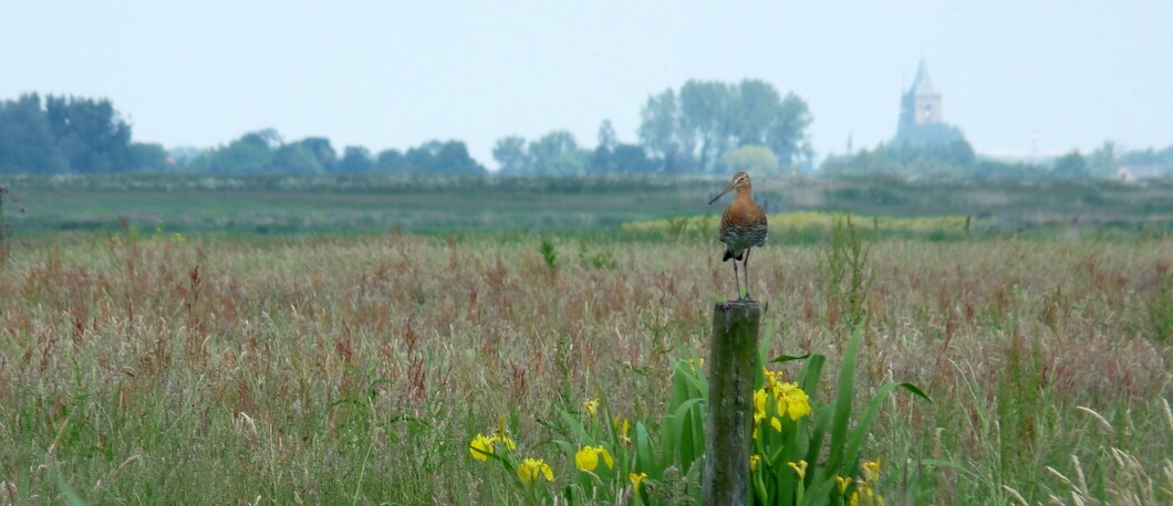 Grutto in de polder van Waterland
