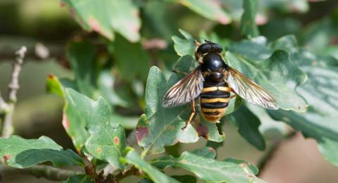 Een zweefvlieg lijkt op een wesp