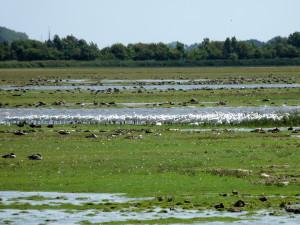 lepelaars en ganzen Lauwersmeer