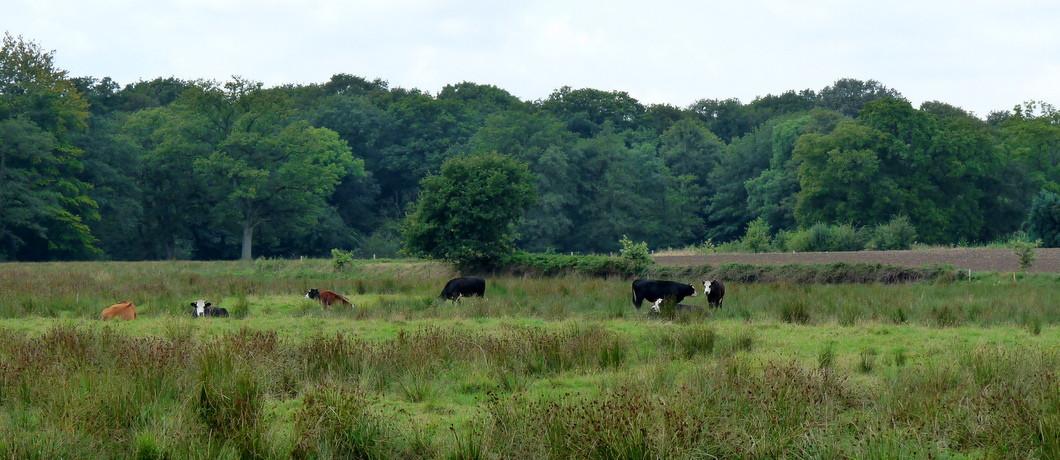 koeien langs het Westerwoldepad