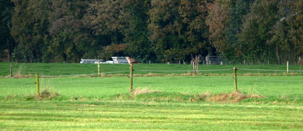 Buizerd in het veld bij Vasse