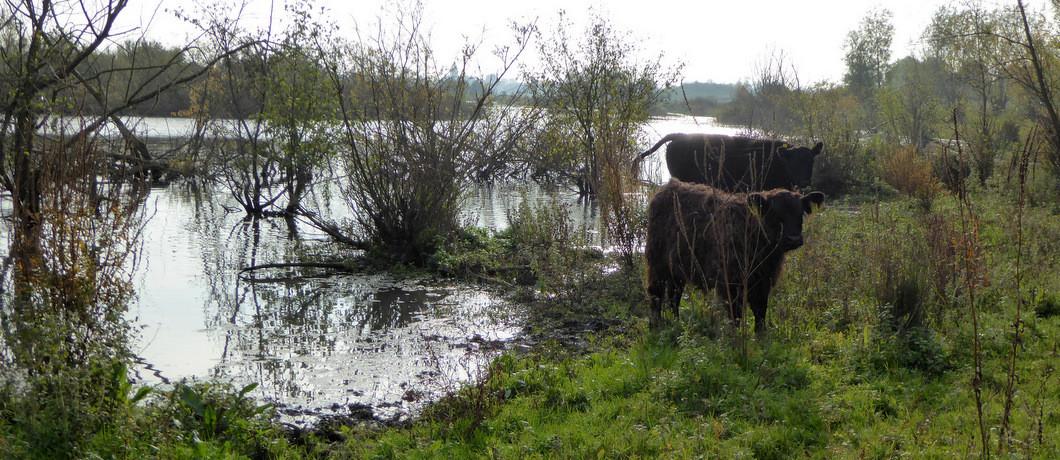 Galloway-runderen Maasplassen