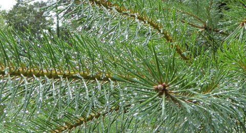 Dennenboom geen kerstboom - Davides