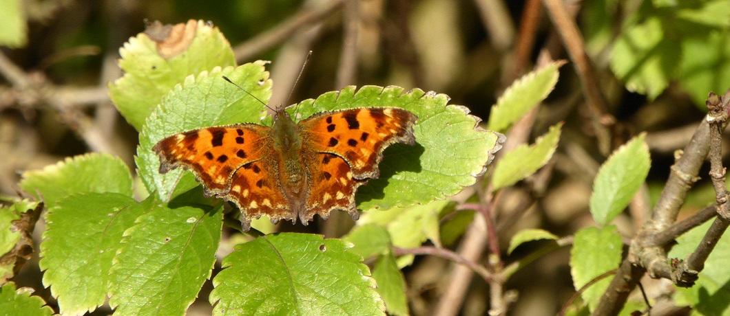 Vlinder de gehakkelde aurelia in natuurgebied De Krang