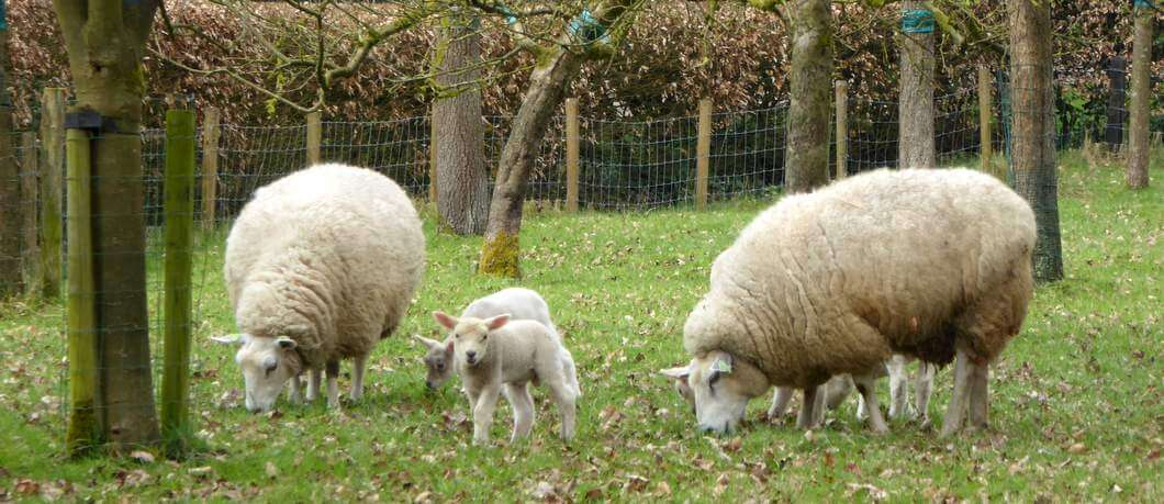 Lammetjes op landgoed Twickel (foto Davides)