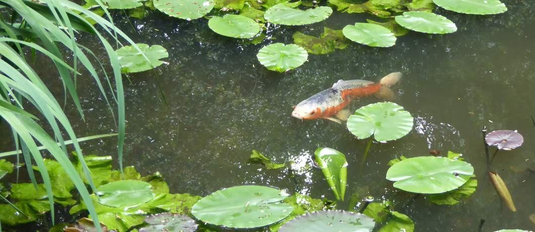 Japanse karper in tuin Schoonoord