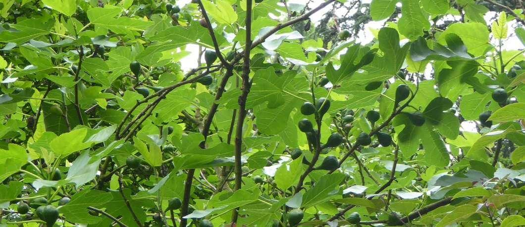 Vijgenboom in tuin Schoonoord