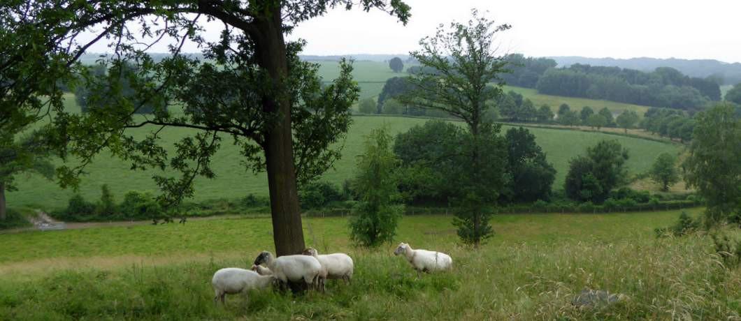 schapen-wandelen-bemelen-davides