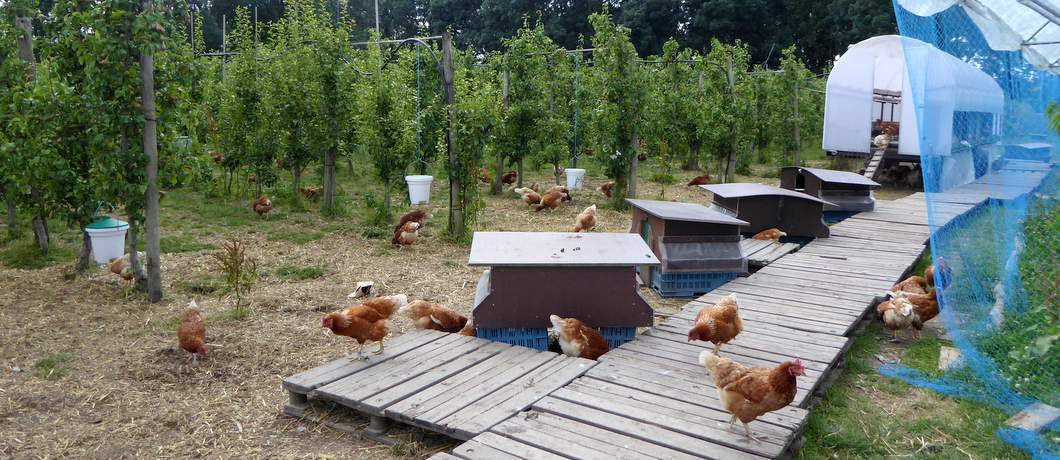 Kippen Fruittuin van West (Foto: Davides.nl)