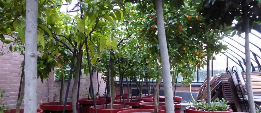 Citrusbomen Tuin der Hesperiden