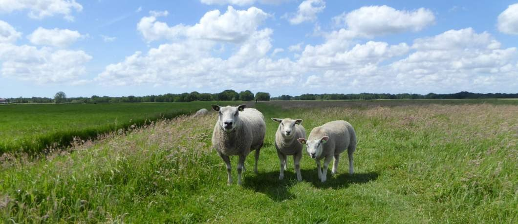 schapen-wandelen-ankeveense-plassen-davides