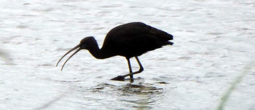 Zwarte ibis in natuurgebied de Groene Jonker