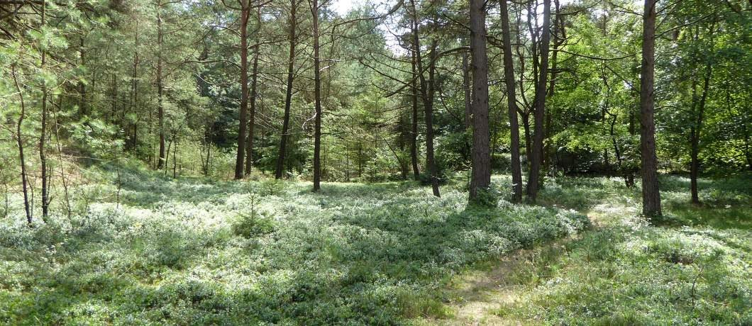 Bosbessen in de tuin van het vakantiehuis in Oude Willem