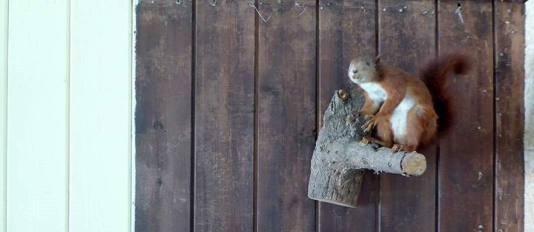 Opgezette eekhoorn bij De Witte Raaf