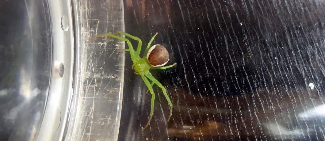 Onder alle dieren de Groene krabspin in de tuin van De Witte Raaf