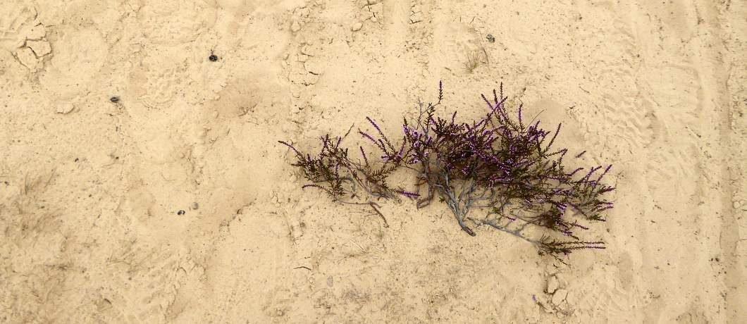 De heide begint te bloeien op de Kale Duinen