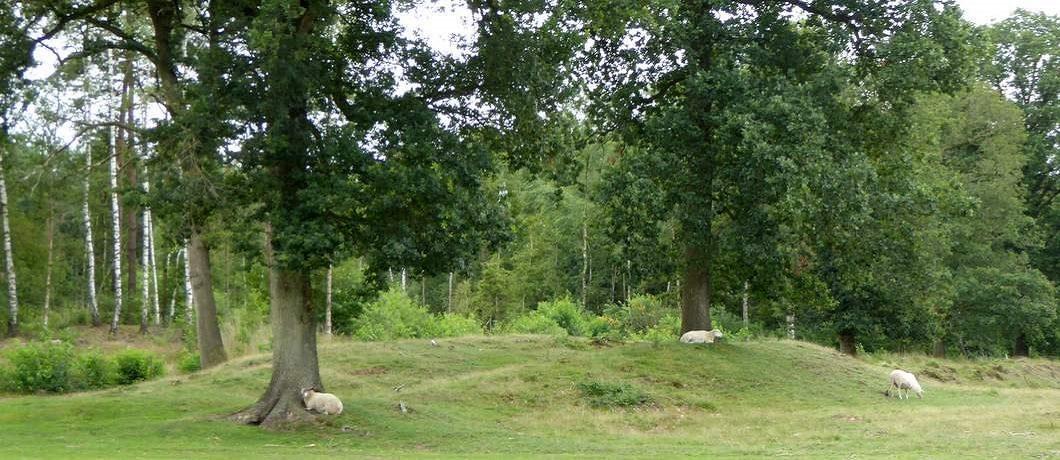 Schapen onder de bomen in het Drents-Friese Wold