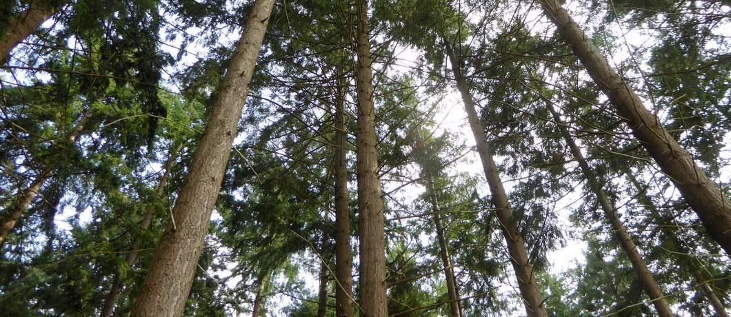 De dennenbomen lijken net sequoia's