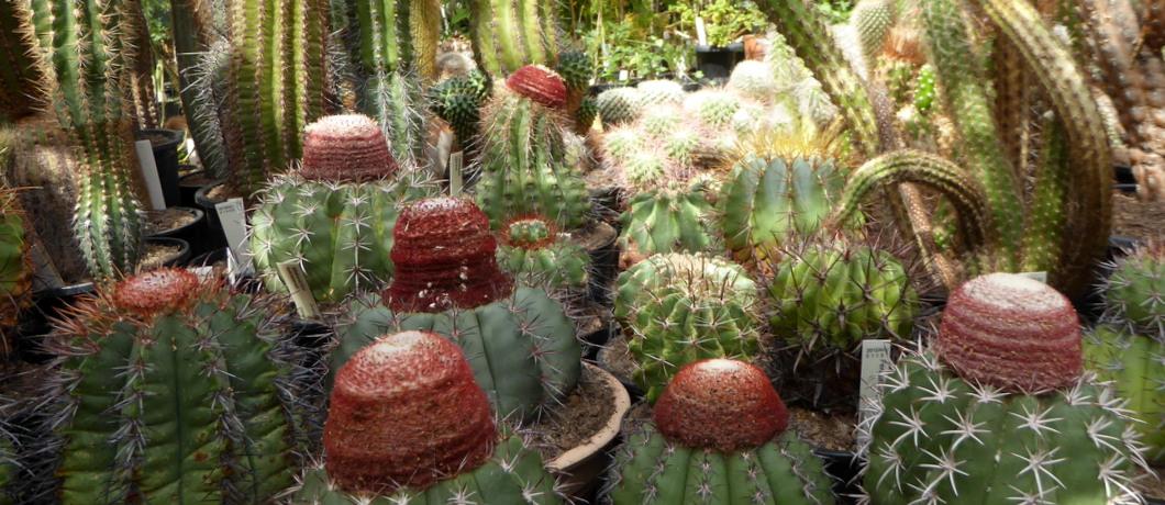 cactussen-toupetjes-botanische-tuin-zuidas-davides