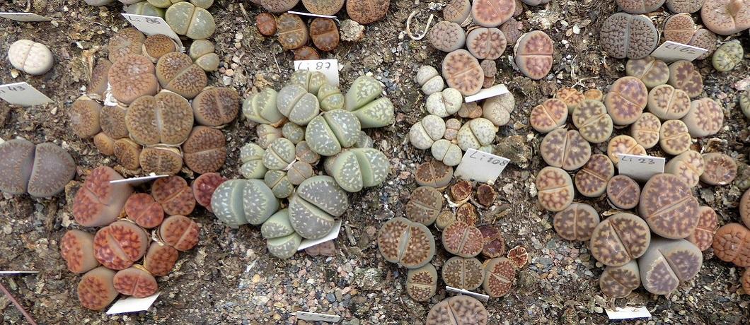 litops-cactussen-botanische-tuin-zuidas-davides
