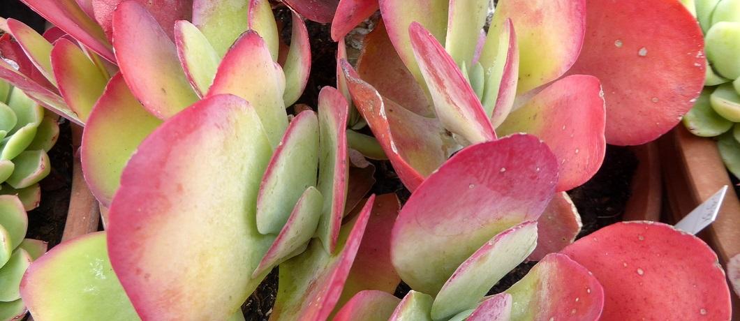 vetplant-botanische-tuin-zuidas-davides