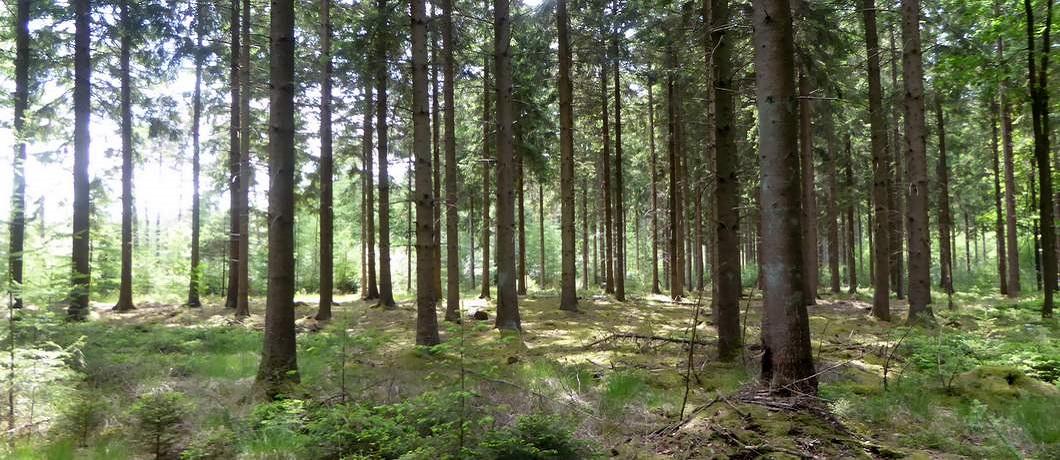 naaldbos-wandeling-echten-boswachterij-ruinen-davides