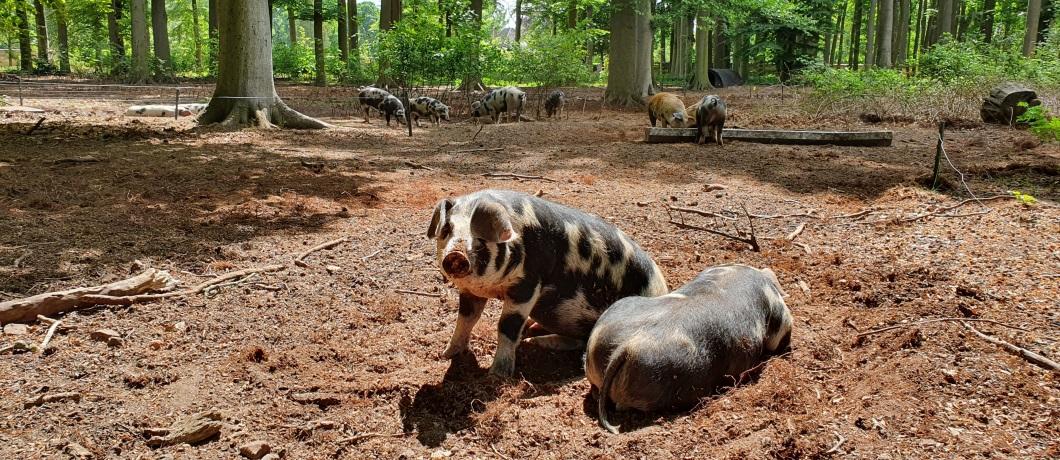 bonte-bentheimer-varkens-wandelen-amerongen-utrechtse-heuvelrug-davides