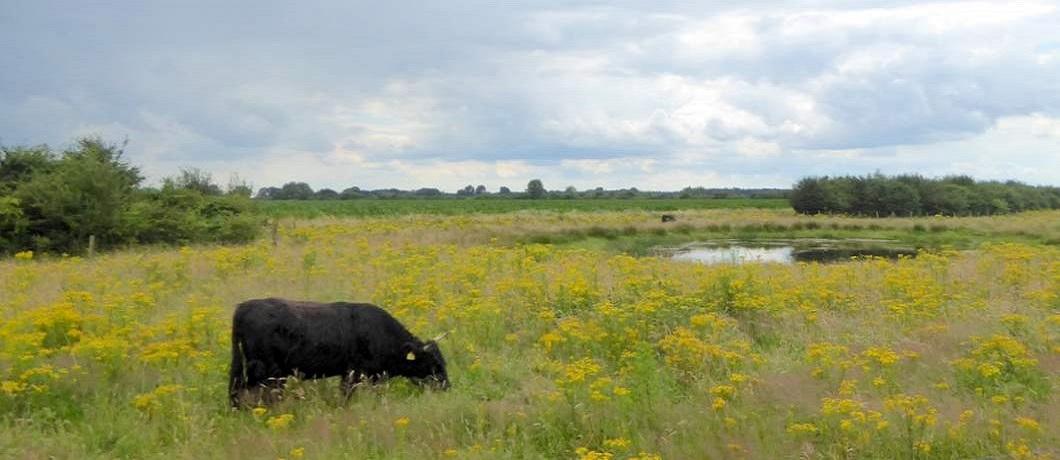koeien-bloemen-fietsen-natuurgrenspark-de-groote-heide-davides