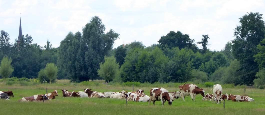 koeien-fietsen-natuurgrenspark-de-groote-heide-davides