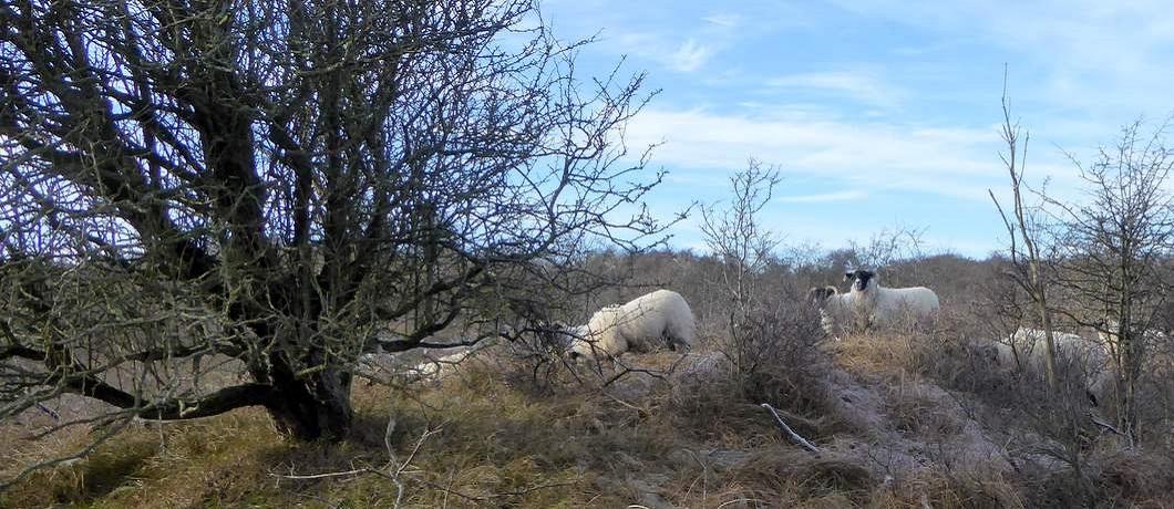 begrazing-schapen-wandelen-duinen-heemskerk-davides