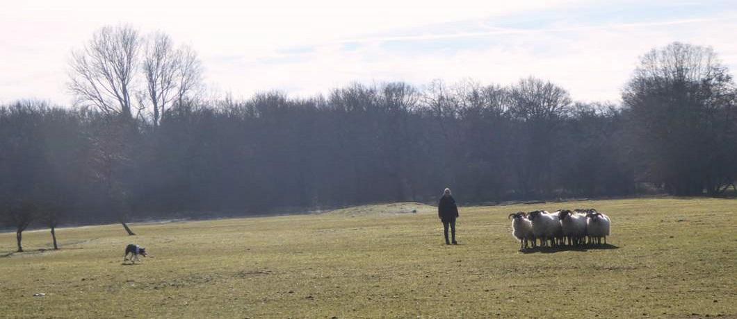 schapen-drijven-wandelen-duinen-heemskerk-davides