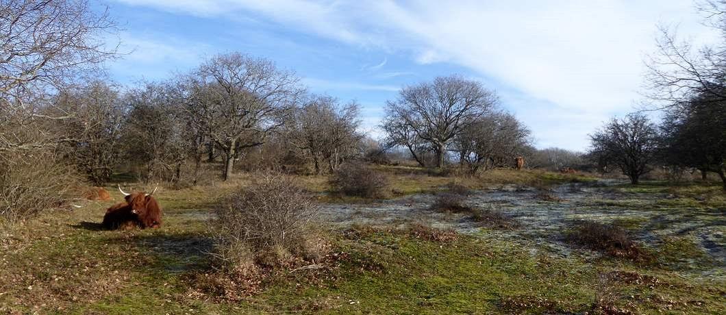 schotse-hooglanders-wandelen-duinen-heemskerk-davides
